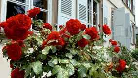 Vivid red roses flowering in the little garden. stock footage