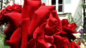Vivid red roses flowering in the little garden. stock video