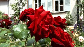 Vivid red roses flowering in the little garden. stock video footage