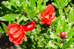 Vivid red spring pomegranate blossom Royalty Free Stock Image