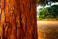 The vivid red trunk of the tree Royalty Free Stock Images