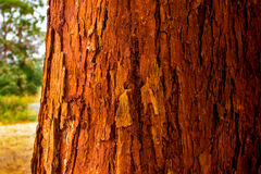 The vivid red trunk of the tree Royalty Free Stock Photography