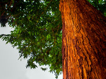 The vivid red trunk of the tree Royalty Free Stock Photo