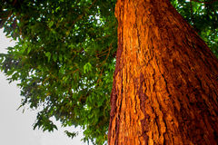 The vivid red trunk of the tree Royalty Free Stock Image