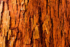 The vivid red trunk of the tree Stock Image