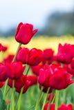 Vivid red tulips Stock Photos