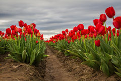 Vivid red tulips Royalty Free Stock Image