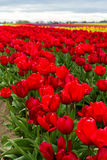 Vivid red tulips Royalty Free Stock Images