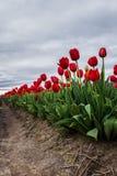 Vivid red tulips Royalty Free Stock Photos