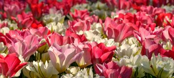 Vivid red and white tulips reflecting the sun at Keukenhof Gardens, Lisse, South Holland. Photographed in HDR high dynamic range. Close up of vibrant colour royalty free stock photo