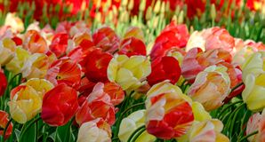 Vivid red and yellow colour tulips at Keukenhof Gardens, Lisse, South Holland. Photographed in HDR high dynamic range. Vibrant red and yellow colour tulips at royalty free stock photography