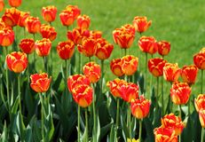 Bright tulips background stock images