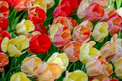 Vivid red and yellow tulips at Keukenhof Gardens, Lisse, South Holland. Photographed in HDR high dynamic range. Close up of vibrant colour tulips at Keukenhof royalty free stock photo