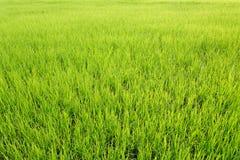 Vivid rice field Royalty Free Stock Photo