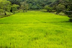 Vivid rice field Royalty Free Stock Photos
