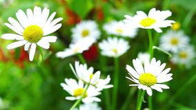 Vivid summer daisy flowers. In breezy sunny day stock video