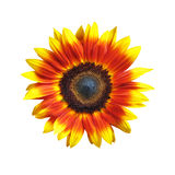 Vivid Sunflower Royalty Free Stock Photography