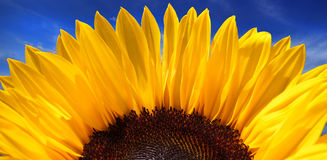 Vivid Sunflower. Clean and vivid sunflower on blue sky Royalty Free Stock Image