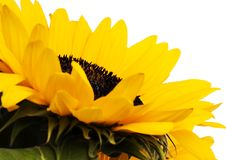Vivid sunflower Stock Image