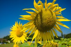 Vivid sunflowers in a bright summer landscape. Stock Photos