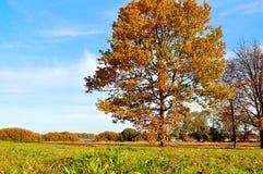 Vivid sunny landscape - autumn field with yellowed oak tree Royalty Free Stock Photo