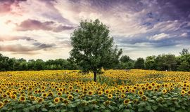 Sunset with sunflower. Vivid sunset with sunflower field and clouds, with one tree in the middle Stock Photos