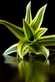 Vivid tropical plant. Close up of a beautiful green and yellow plant I found in tropical Costa Rica Stock Images