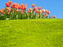 Vivid tulips in the spring. Vivid tulips with copyspace in the grass Royalty Free Stock Photos
