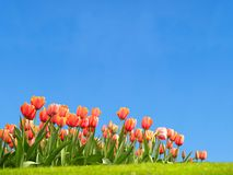 Vivid tulips in the spring. Vivid tulips with copyspace in the grass Royalty Free Stock Photography