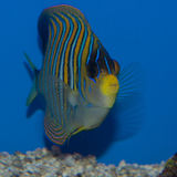 Indo Regal Angelfish. With vivid vertical striations of blue, white, yellow, or orange on the body and pelvic fin, the Regal Angelfish deserves this distinctive Stock Image