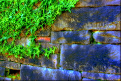 Vivid Vines on Old Wall Stock Images