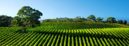 Vivid Vineyard Panorama Stock Photography
