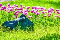 Vivid violet tulips, spring Royalty Free Stock Photo