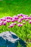 Vivid violet tulips, spring Stock Image