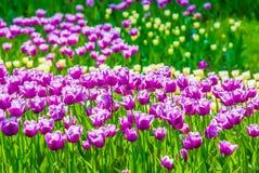 Vivid violet tulips, spring Stock Photos