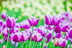 Vivid violet tulips, spring Royalty Free Stock Photo