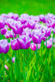 Vivid violet tulips, spring Royalty Free Stock Images