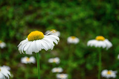 Vivid white flower Stock Photography