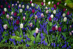 Vivid White and Purple Tulips Stock Image