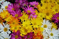 Vivid white violet yellow orange petals and flowers, natural background, garden beauty Stock Photo