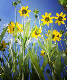 Vivid yellow flowers on blue sky. Yellow flowers from bellow, on blue sky Royalty Free Stock Photo