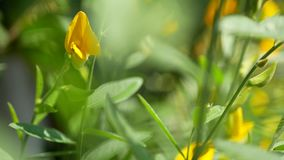 Vivid yellow flowers of Indian or Sunn hemp, Crotalaria Juncea, in the mid of afternoon sunlight on a breezy day. Selective focus of vivid yellow flowers of stock footage