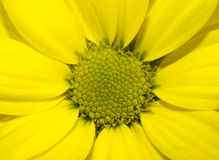 Vivid yellow golden-daisy Royalty Free Stock Photography