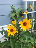 Vivid yellow and green garden flowers. royalty free stock photography