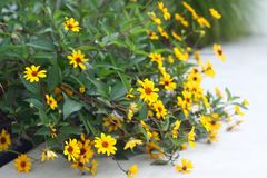 Vivid yellow and green garden flowers. stock images