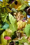 Vivid yellow green orange autumn colorful leaves. Winter natural image, close up Royalty Free Stock Photography