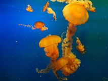Vivid Yellow Jellyfish on Blue Background Stock Image