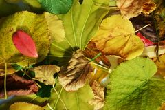 Vivid yellow red green orange autumn colorful leaves. Winter natural image, close up Royalty Free Stock Image