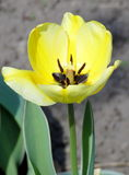 Vivid yellow tulip. Yellow and white tulip under the rain in early spring blooming Stock Photo