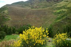 Vivid yellow wild flowers blooming against stepped agricultural terraces on the mountainside of Sacred Valley of the Incas, Cusco stock photos